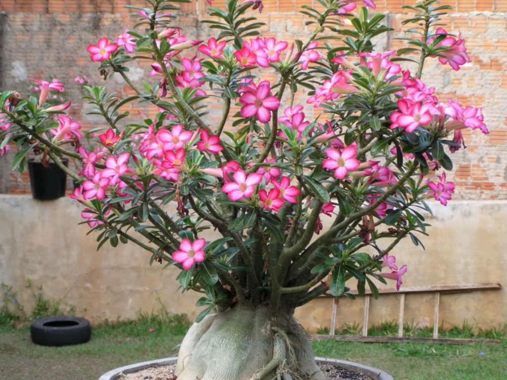 Desert-Rose-Adenium-obesum